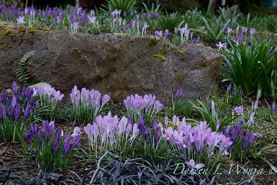 Crocus tommasinianus 'Whitewell Purple' - Ophiopogon planiscapus 'Nigrescens' landscape_6896