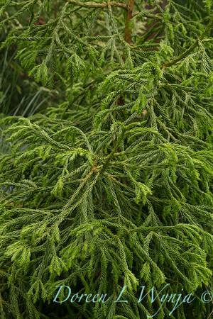 Cryptomeria japonica Spiralis_0000