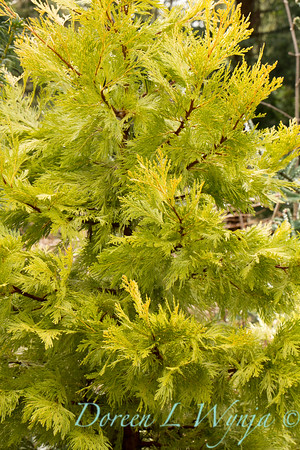 Calocedrus decurrens Berrima Gold_002