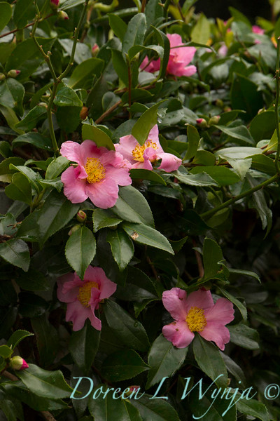 Camellia sasanqua single pink_005