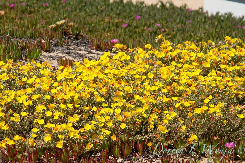 Camissonia cheiranthifolia_001
