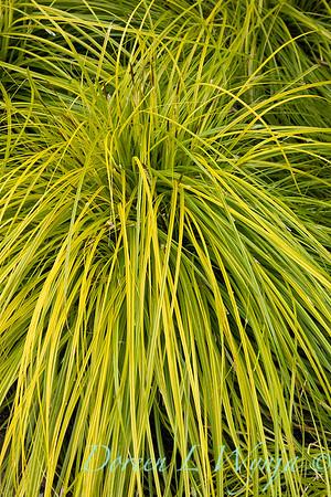 Carex oshimensis 'Everillo'_5914
