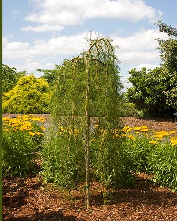 Caragana arborescens Walker_004