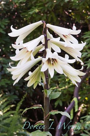 Cardiocrinum; Giant lily; giganteum; UBC