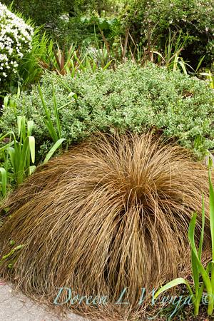 Carex flagellifera_001