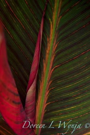 Canna Tropicanna_018