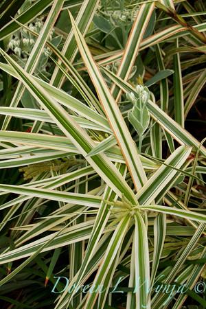 Carex phyllocephala 'Sparkler'_Doreen Wynja_4417