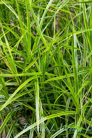 Carex muskingumensis Oehme_006