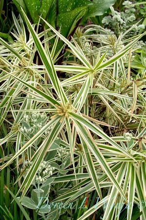 Carex phyllocephala 'Sparkler'_4420M