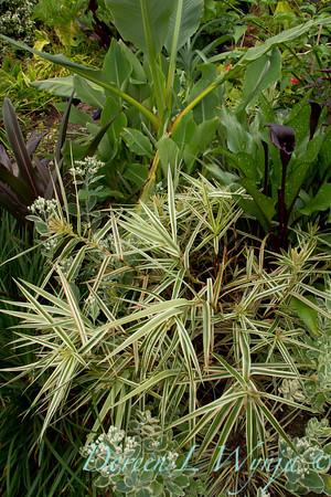 Carex phyllocephala 'Sparkler'_Doreen Wynja_4418