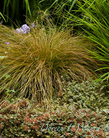 Carex testacea_Doreen Wynja_001