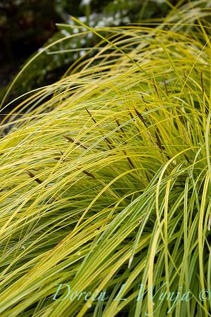 Carex oshimensis 'Everillo'_5922