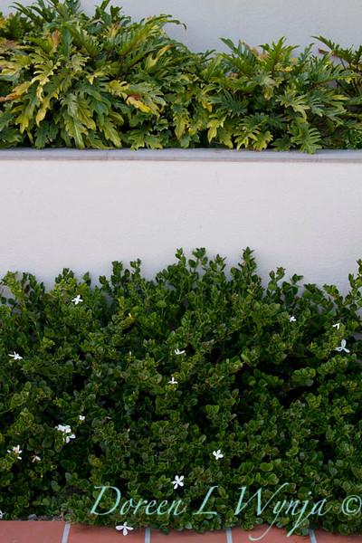 Carissa macrocarpa Tuttlei_0518_Doreen Wynja