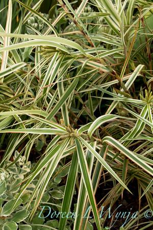 Carex phyllocephala 'Sparkler'_Doreen Wynja_4416