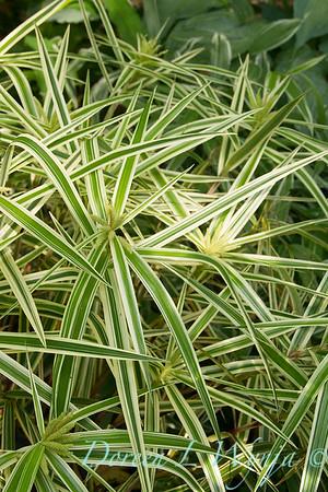 Carex phyllocephala 'Sparkler'_1885