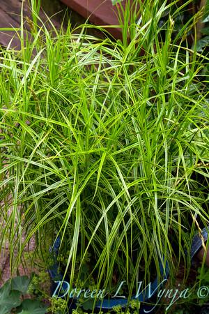 Carex muskingumensis Oehme_001