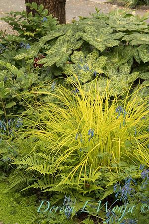 Carex elata 'Knightshayes' with Podophyllum 'Spotty Dotty'_8957
