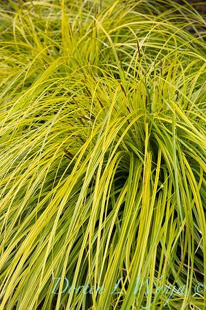 Carex oshimensis 'Everillo'_5916