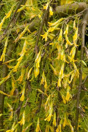 Caragana arborescens_022