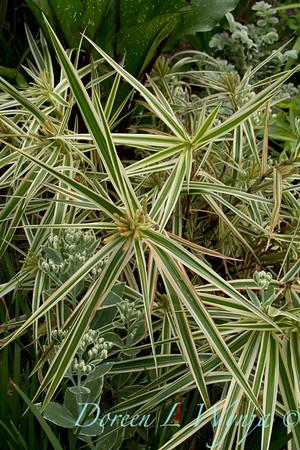 Carex phyllocephala 'Sparkler'_Doreen Wynja_4420