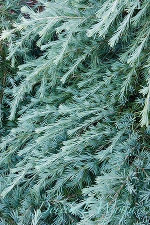 Cedrus Feelin' Blue Deodar Cedar_008.jpg
