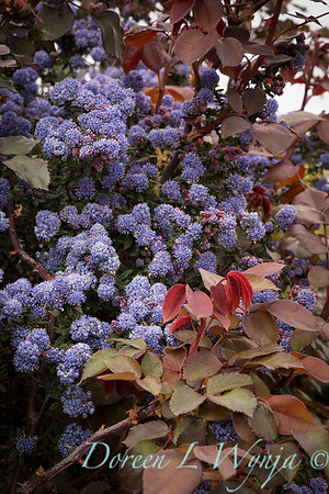 Ceanothus 'Julia Phelps' - purple - chocolate_2128
