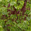 Cercis canadensis with seed pods_2382