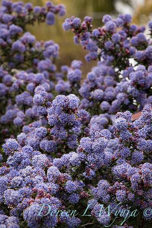 Ceanothus 'Julia Phelps' - purple_2142