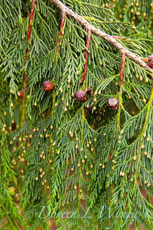 Cedar cones_001