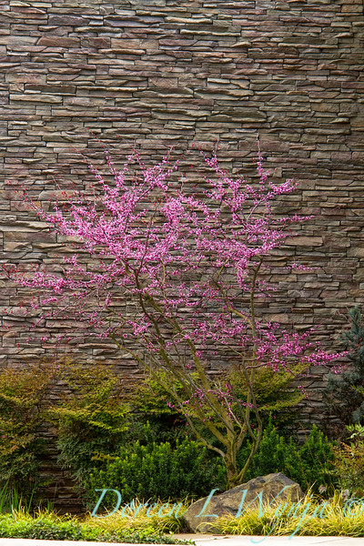 Cercis canadensis 'Forest Pansy'_002