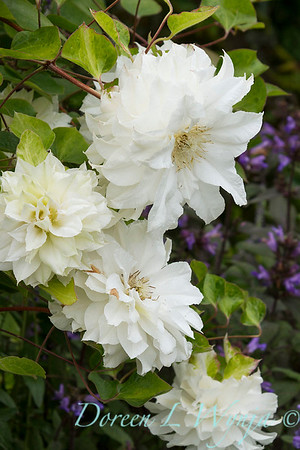 Clematis Duchess of Edinburgh_2444