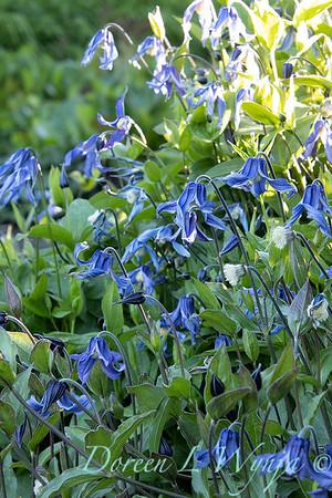 Clematis integrifolia 'Caerulea' Blue Bells_6063