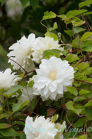 Clematis Duchess of Edinburgh_2446