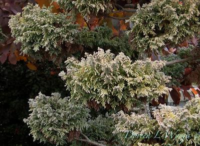 Chamaecyparis pisifera 'Boulevard' pom pom_0576