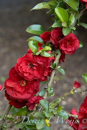 Chaenomeles speciosa 'Scarlet Storm' Double Take Scarlet_1287FG