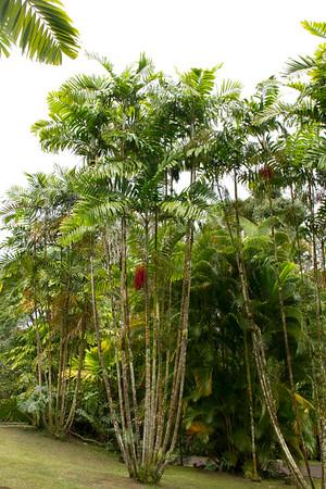 Chamaedorea oblongata_003