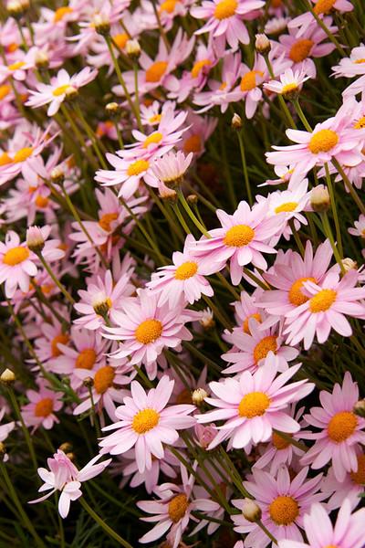 Chrysanthemum frutescens_016