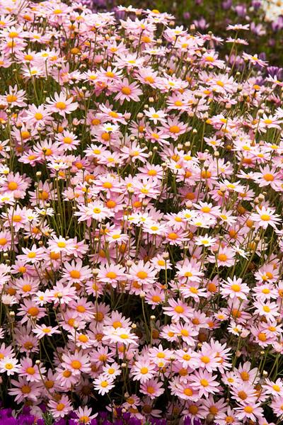 Chrysanthemum frutescens_008