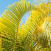 Chrysalidocarpus lutescen_001