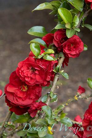 Chaenomeles speciosa 'Scarlet Storm' Double Take Scarlet_1287