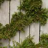 Cotoneaster horizontalis espalier_006
