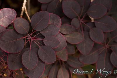 Cotinus coggygria 'Royal Purple'_145