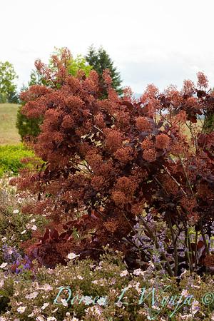 Cotinus Royal Purple_012