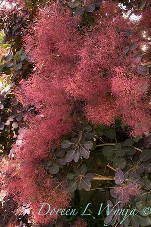 Cotinus coggygria 'Royal Purple'_141M
