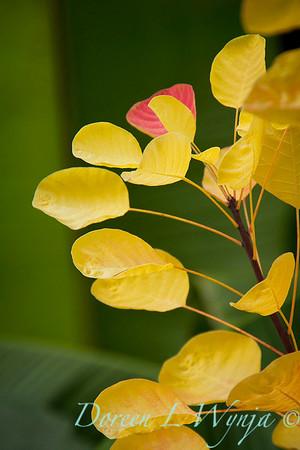 Cotinus coggygria Golden Spirit_036