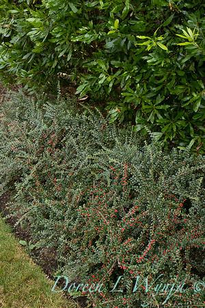 Cotoneaster horizontalis 'Perpusillus'_2680