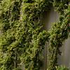 Cotoneaster horizontalis espalier_008