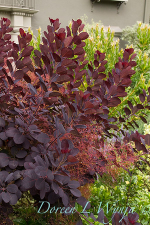 Cotinus coggygria 'Royal Purple'_1016