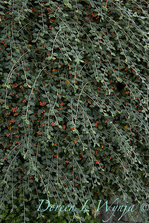 Cotoneaster franchetii_1863