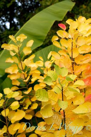 Cotinus coggygria Golden Spirit_038